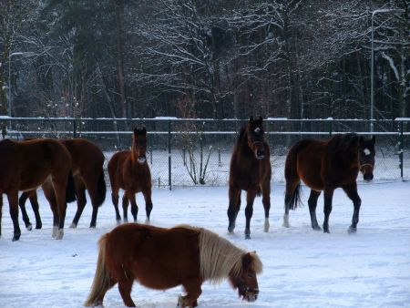 Paarden in de winter 2011